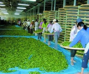 秋茶本周陆续上市
