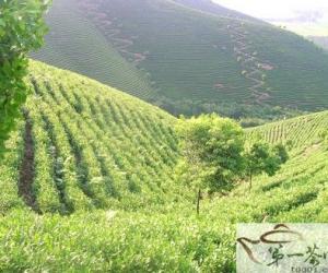 如何发展福建茶品牌?